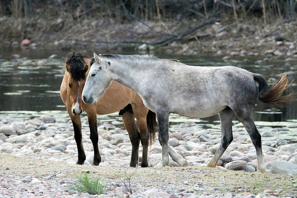 Photograph - Salt River Wild Horses 3398-012919 by Tam Ryan