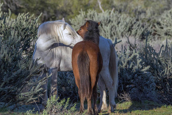 Photograph - Salt River Wild Horses 5165-022619-2 by Tam Ryan
