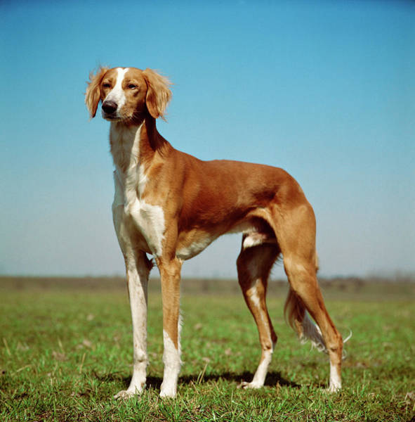 Canine Photograph - Saluki Hound by Jupiterimages