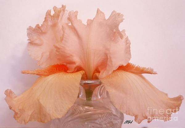 Wall Art - Photograph - Salvador Dali Bearded Iris by Marsha Heiken
