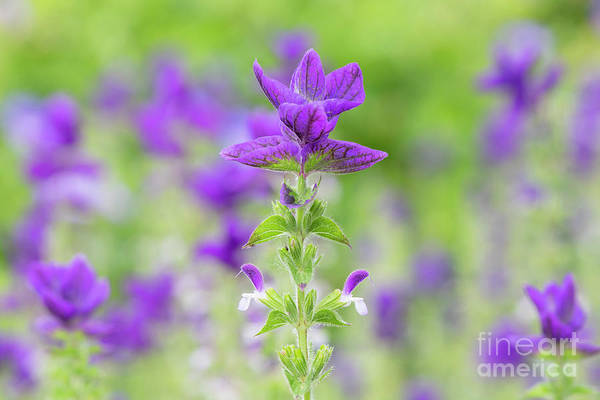 Wall Art - Photograph - Salvia Horminum Oxford Blue by Tim Gainey
