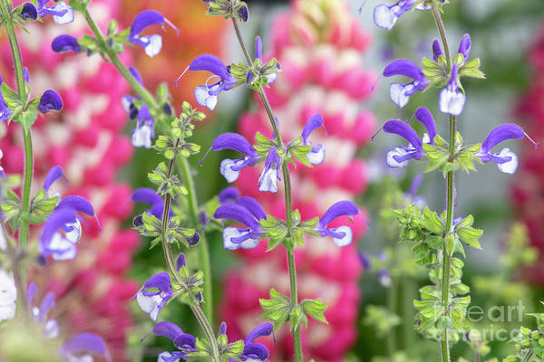 Purple Sage Photograph - Salvia Pratensis Madeline Flowers  by Tim Gainey