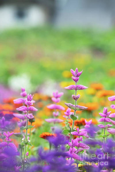 Photograph - Salvia Viridis Rosea In An English Garden by Tim Gainey
