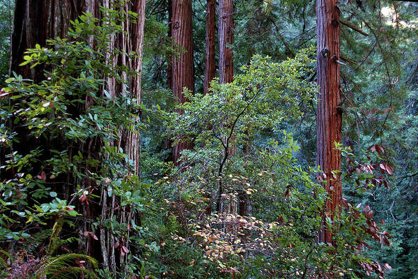 Photograph - Samuel Taylor Redwoods 2 by David Armentrout