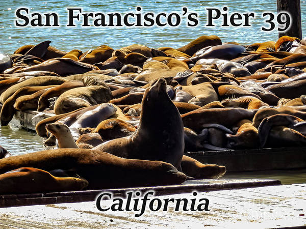 Photograph - San Francisco's Pier 39 Walruses 1 by G Matthew Laughton