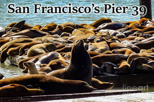 Photograph - San Francisco's Pier 39 Walruses 2 by G Matthew Laughton