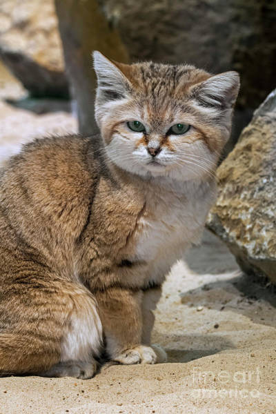 Photograph - Sand Cat by Arterra Picture Library