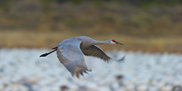 Flyby Photograph - Sand Hill Crane  Fly By by Gary Langley