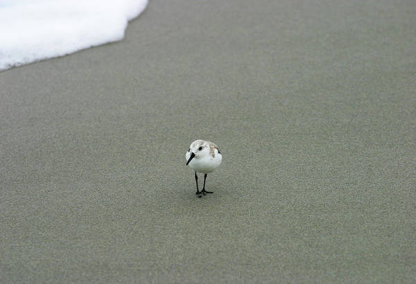 Photograph - Sand Piper by Anthony Jones