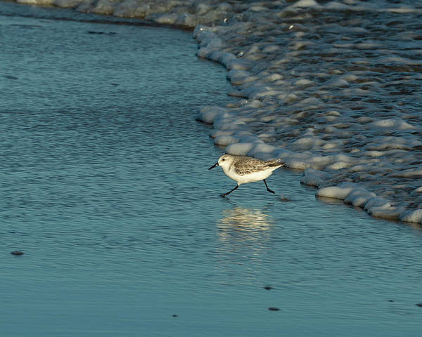 Photograph - Sanderling At Assateague Island National Seashore II by William Dickman