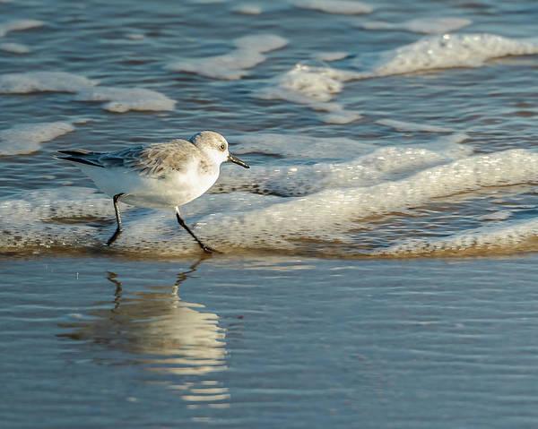 Photograph - Sanderling At Assateague Island National Seashore by William Dickman
