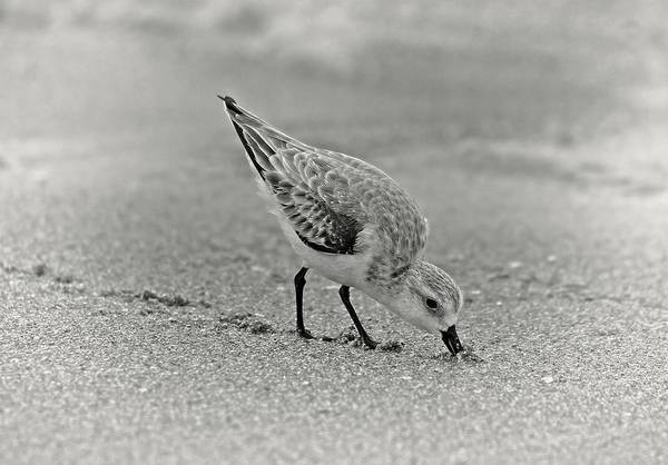 Photograph - Sanderling Foraging For Food by Steve DaPonte