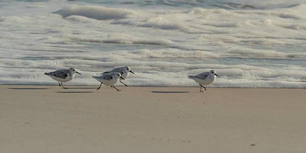Photograph - Sanderlings At Assateague Island National Seashore I 1x2 by William Dickman