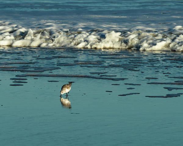 Photograph - Sanderlings At Assateague Island National Seashore II by William Dickman