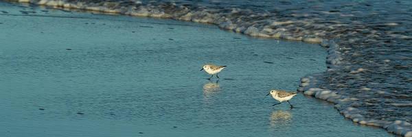 Photograph - Sanderlings At Assateague Island National Seashore Iv 1x3 by William Dickman