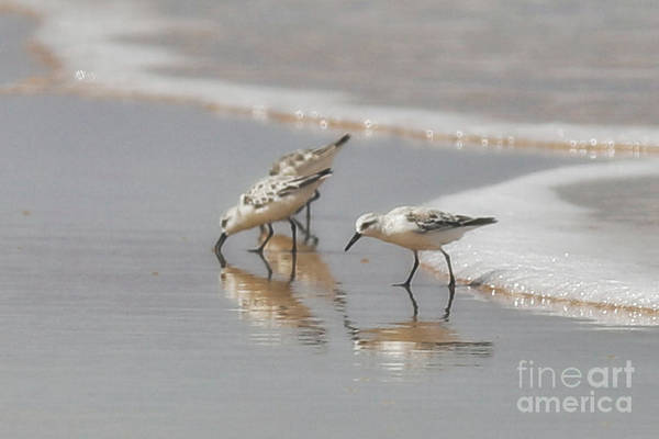 Wall Art - Photograph - Sanderlings by Kelly Pennington