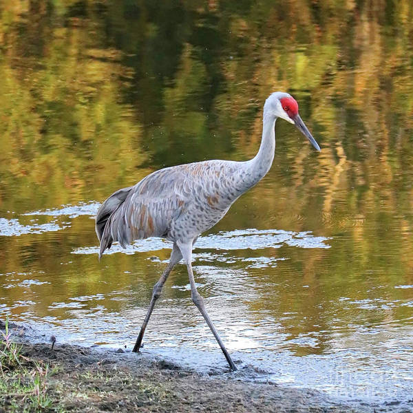 Wall Art - Photograph - Sandhill Along Colorful Pond by Carol Groenen