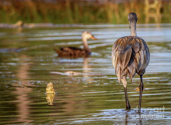 Photograph - Sandhill And Duck In Marsh by Tom Claud