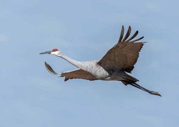 Photograph - Sandhill Crane 2018-10 by Thomas Young