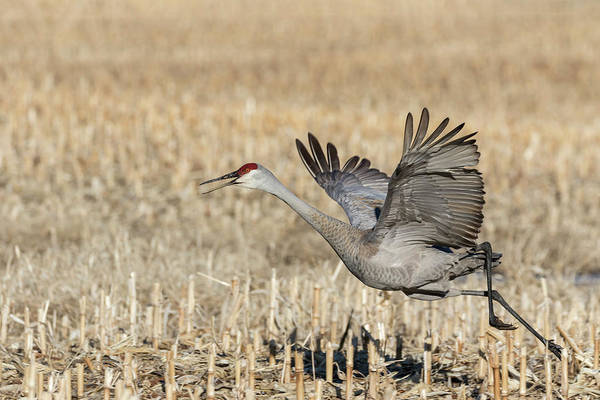 Photograph - Sandhill Crane 2018-6 by Thomas Young