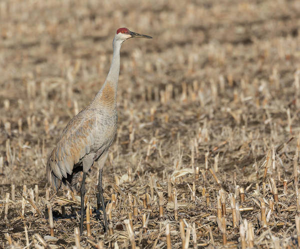 Photograph - Sandhill Crane 2018-7 by Thomas Young