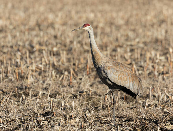 Photograph - Sandhill Crane 2018-8 by Thomas Young