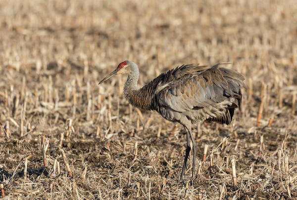 Photograph - Sandhill Crane 2018-9 by Thomas Young