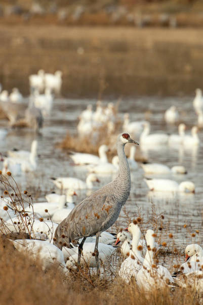 Wall Art - Photograph - Sandhill Crane And Snow Geese, Bosque by Howie Garber