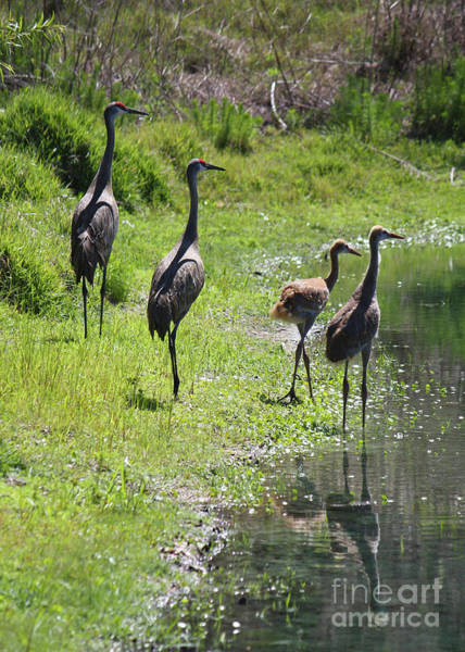 Photograph - Sandhill Crane Family Of Four By Pond by Carol Groenen