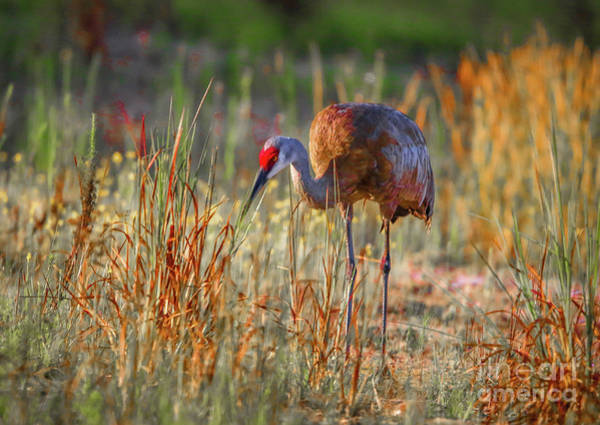 Photograph - Sandhill Crane In Grass by Tom Claud