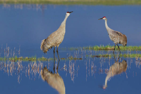 Wall Art - Photograph - Sandhill Crane Pair Foraging In Flooded by Ken Archer