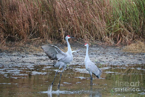 Photograph - Sandhill Crane Pair Meet Cute by Carol Groenen