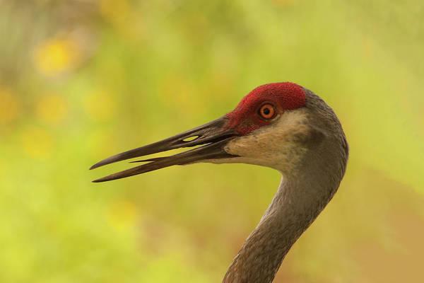 Photograph - Sandhill Crane Portrait by Paul Rebmann