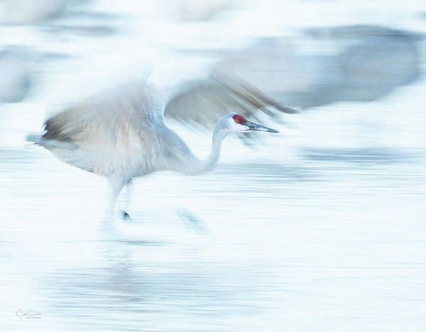 Photograph - Sandhill Crane Taking Off -- Motion Blur by Judi Dressler