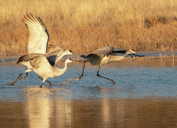 Photograph - Sandhill Crane Trio Take-off by Judi Dressler