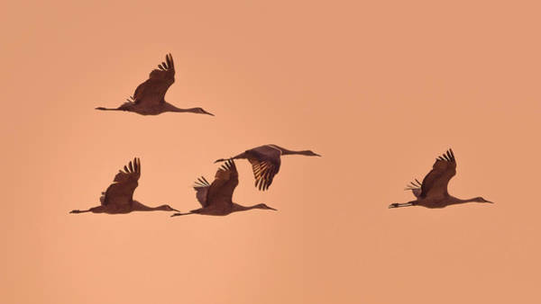 Photograph - Sandhill Cranes At Sunset by Van Sutherland