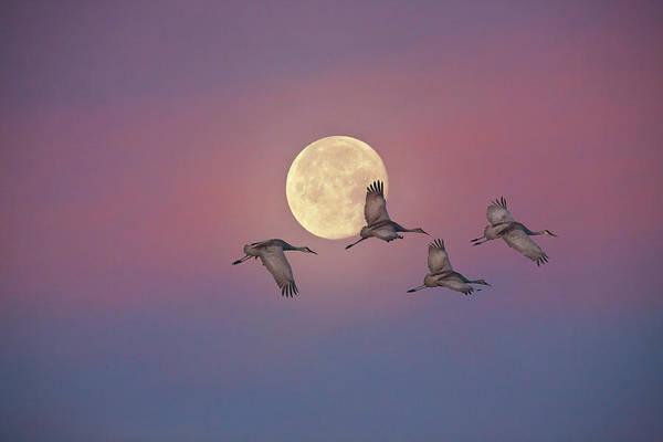 The Crane Photograph - Sandhill Cranes by Diane Miller
