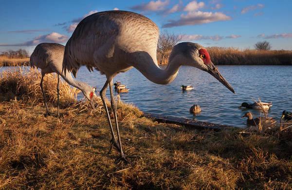 The Crane Photograph - Sandhill Cranes Grus Canadensis And by Danita Delimont