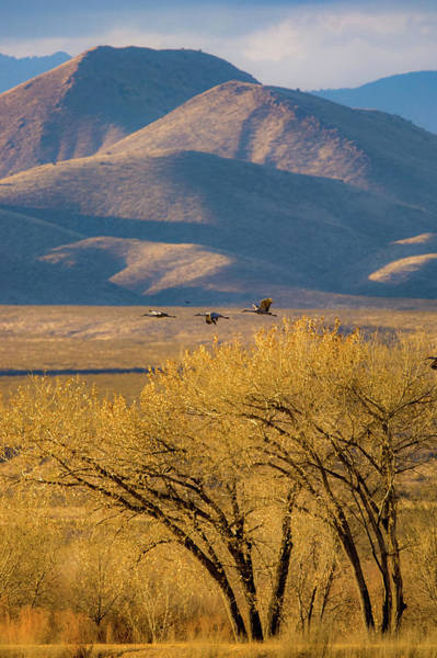 Photograph - Sandhill Cranes Near The Bosque by Jeff Phillippi