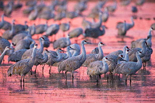 Wall Art - Photograph - Sandhill Cranes On Lake At Sunset by Panoramic Images