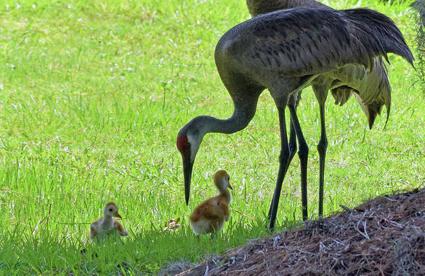 Photograph - Sandhill Cranes With Colts by Larah McElroy