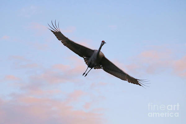Photograph - Sandhill Flying At Sunset by Carol Groenen