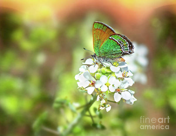 Photograph - Sandia Hairstreak by Susan Warren