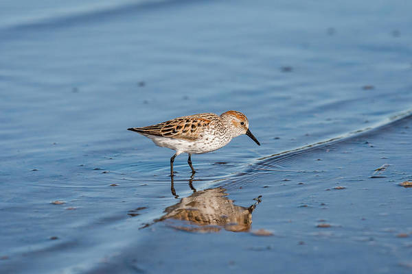 Photograph - Sandpiper And Reflection by Robert Potts