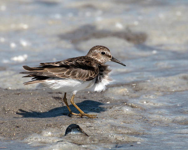 Photograph - Sandpiper At Tidal Pool by William Selander