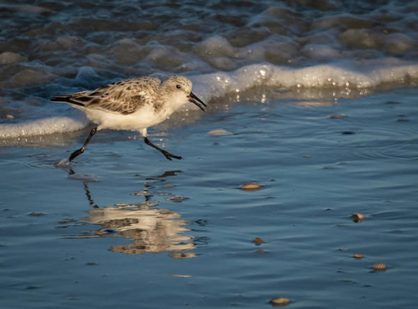 Photograph - Sandpiper Looking For Food by Jeffrey Klug