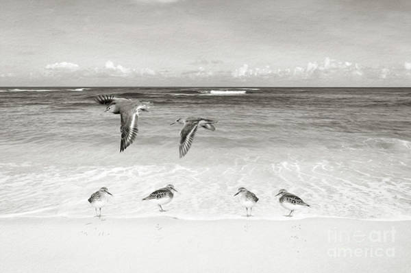 Wall Art - Photograph - Sandpiper Party Bw by Laura D Young