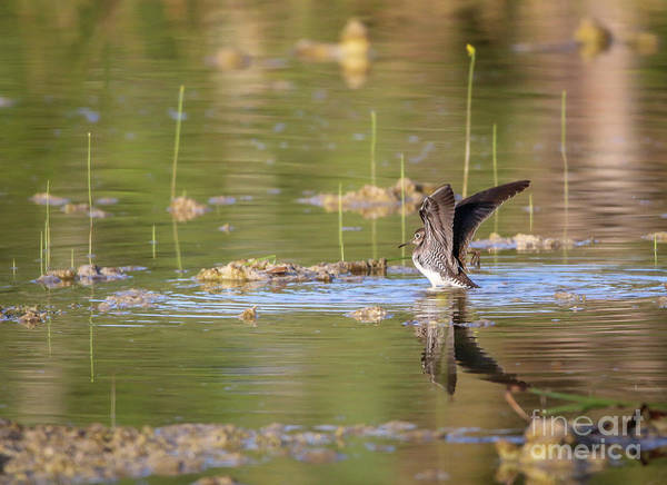 Photograph - Sandpiper Reflection by Tom Claud