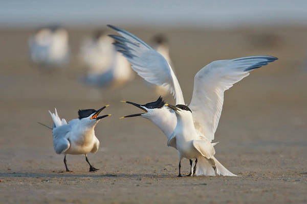 Birds Of Texas Photograph - Sandwich Terns Sterna Sandvicensis by Danita Delimont