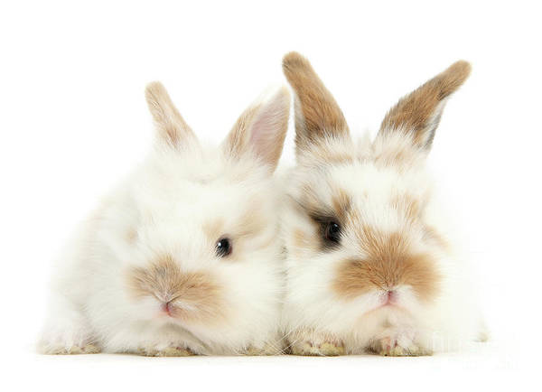 Photograph - Sandy White Love Bunnies by Warren Photographic